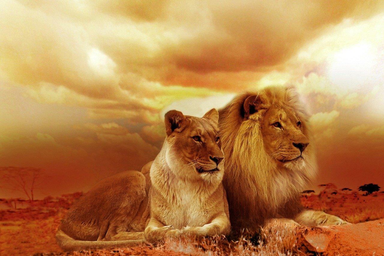 lion succès